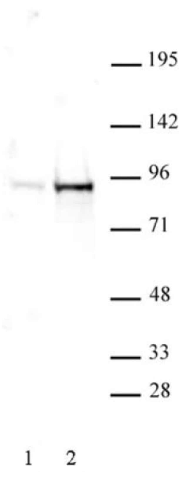 Phospho-STAT5A/B (Tyr694, Tyr699) Rabbit anti-Human, Unconjugated, Polyclonal,