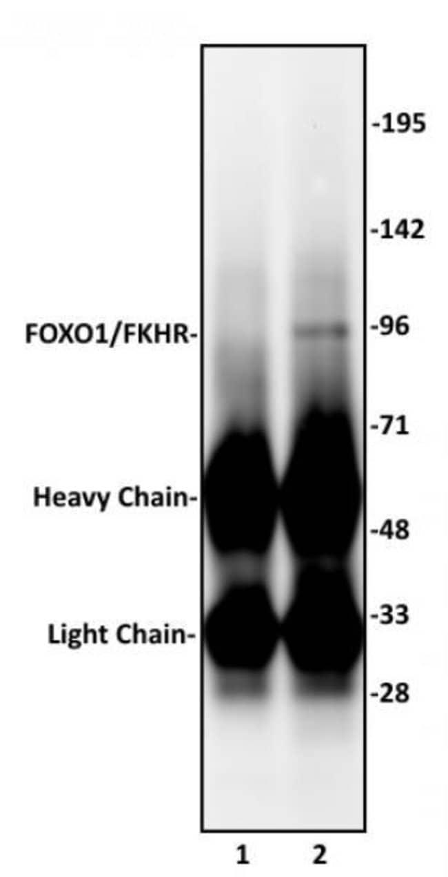 FOXO1/FKHR Rabbit anti-Human, Unconjugated, Polyclonal, Active Motif:Antibodies:Primary