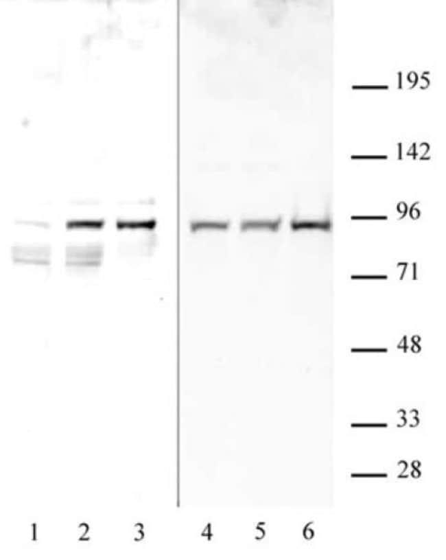 Phospho-STAT1 (Ser727) Rabbit anti-Human, Unconjugated, Polyclonal, Active