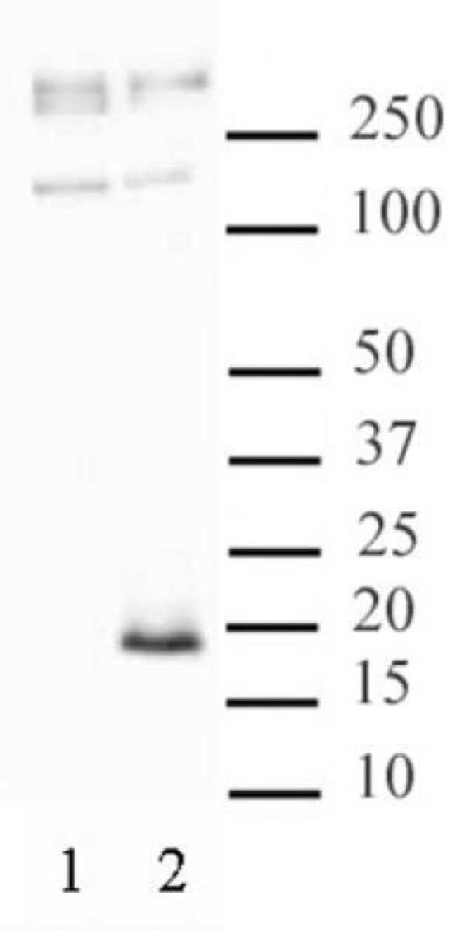 Histone H3.3S31ph Rabbit anti-Human, Unconjugated, Polyclonal, Active Motif:Antibodies:Primary