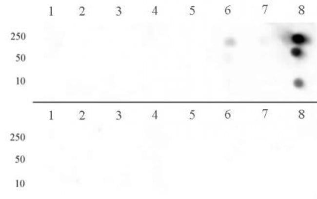 Histone H3R8me2a (asymmetric) Rabbit anti-Human, Mouse, Unconjugated, Polyclonal,