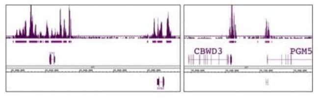 Ring1B Mouse anti-Human, Monkey, Mouse, Active Motif:Antibodies:Primary