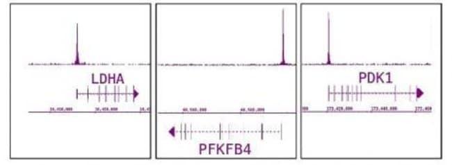 HIF-1 alpha Rabbit anti-Human, Unconjugated, Polyclonal, Active Motif:Antibodies:Primary