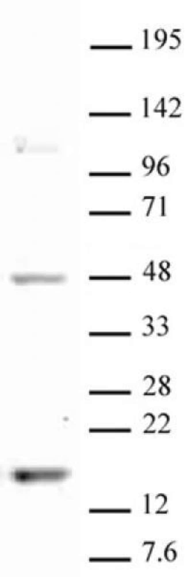 Histone H3K18me1 Rabbit anti-Human, Unconjugated, Polyclonal, Active Motif:Antibodies:Primary
