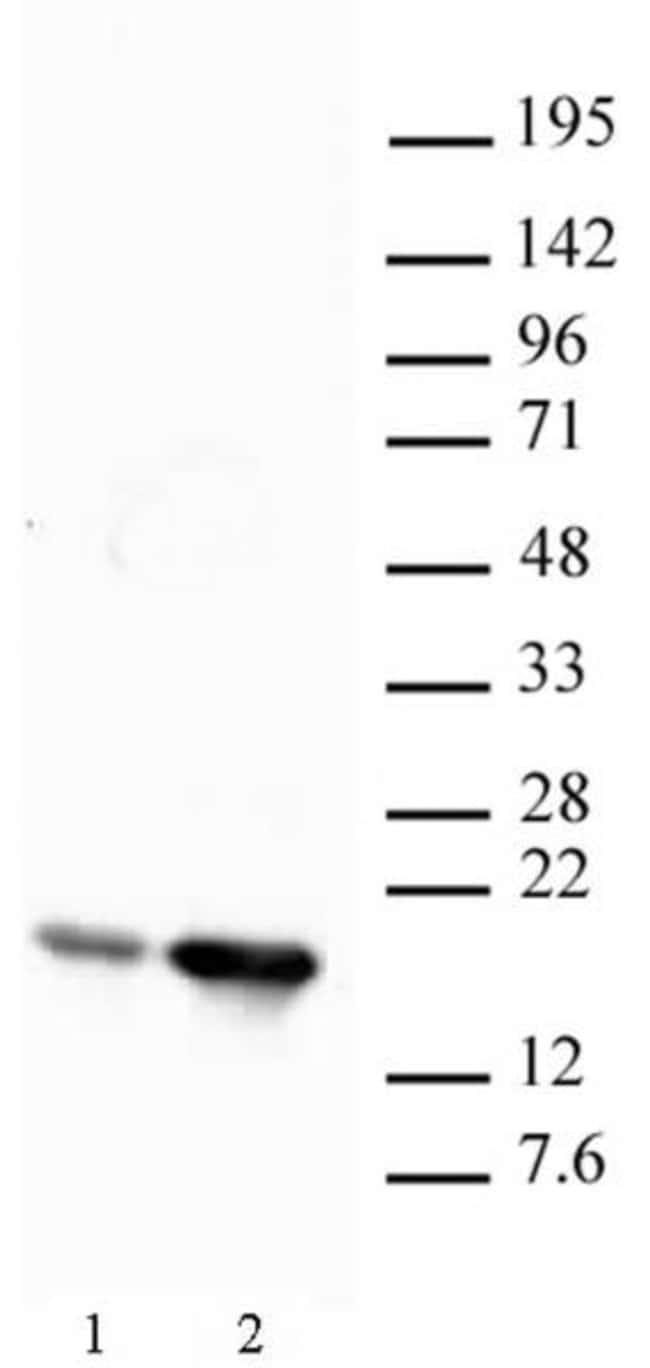 Histone H2BK12ac Rabbit anti-Human, Unconjugated, Polyclonal, Active Motif:Antibodies:Primary