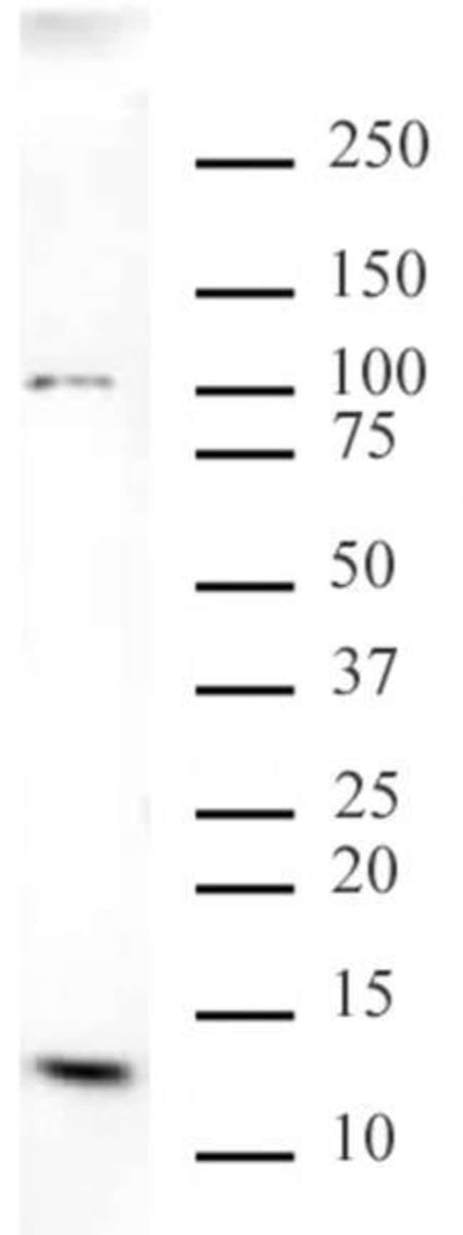 Histone H4K20me3 Mouse anti-Human, Mouse, Clone: 6F8-D9, Active Motif:Antibodies:Primary