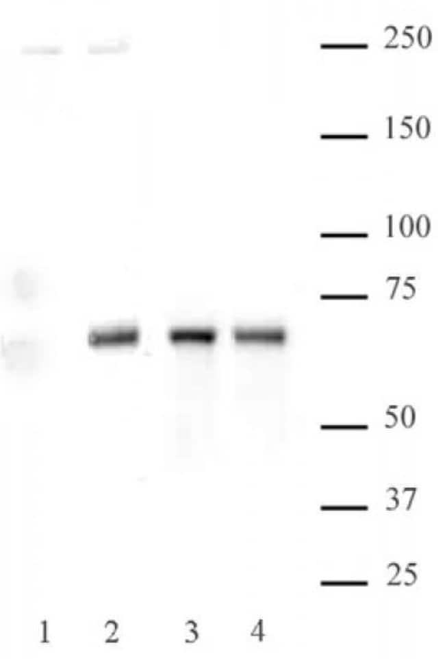 Phospho-NFkB p65 (Ser536) Rabbit anti-Human, Unconjugated, Polyclonal,