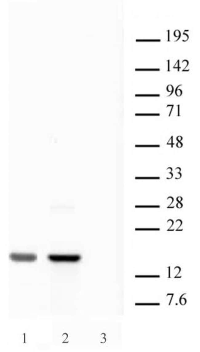 Histone H2A.X Rabbit anti-Human, Unconjugated, Polyclonal, Active Motif:Antibodies:Primary