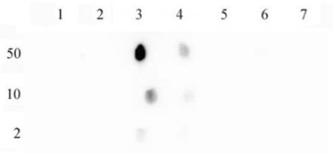 Histone H3K14ac Rabbit anti-Human, Unconjugated, Polyclonal, Active Motif:Antibodies:Primary