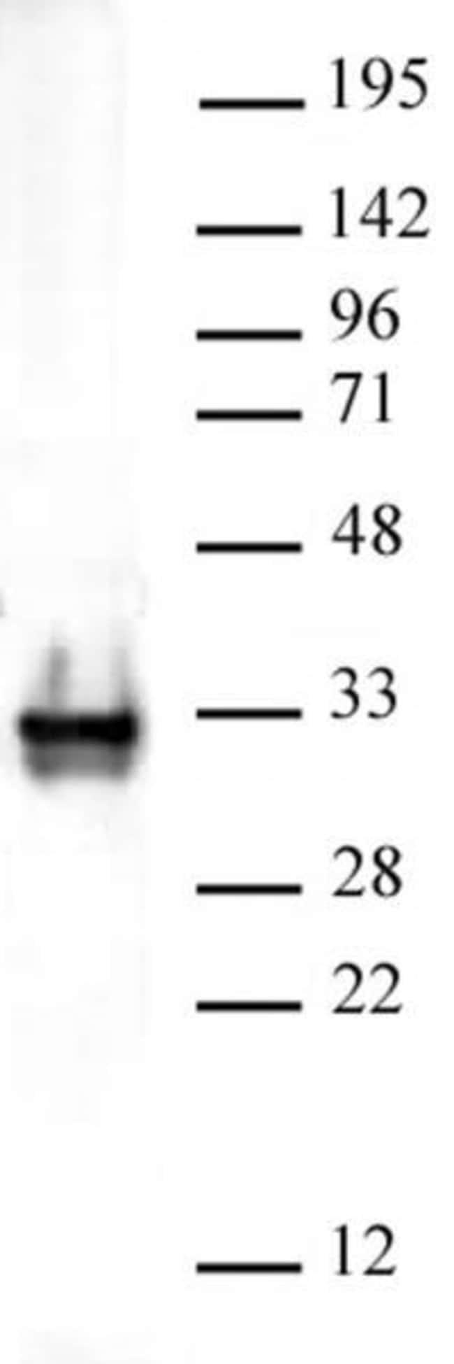 Histone H1 Rabbit anti-Human, Unconjugated, Polyclonal, Active Motif:Antibodies:Primary