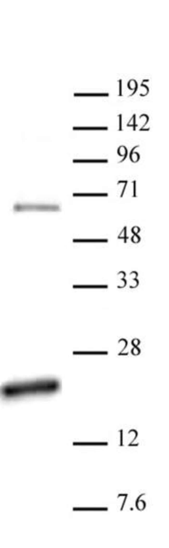 Histone H3R17me2a (asymmetric) Rabbit anti-Human, Unconjugated, Polyclonal,