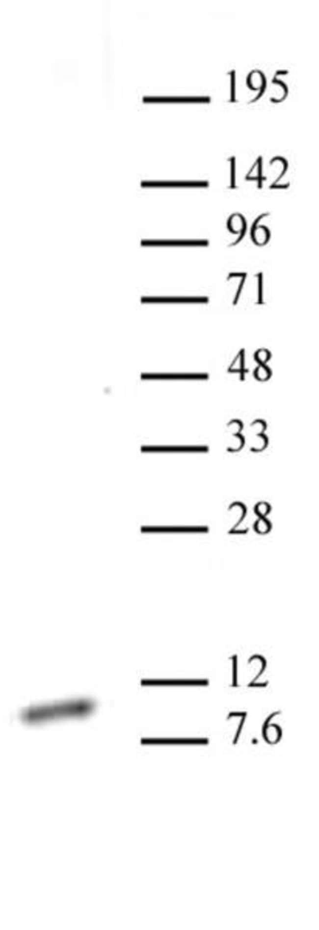 Histone H4K20me1 Mouse anti-Human, Clone: 5E10-D8, Active Motif:Antibodies:Primary