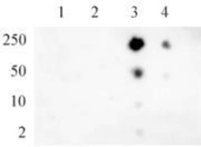 Phospho-RNA pol II CTD (Ser5) Rabbit anti-Human, Mouse, Unconjugated, Polyclonal,
