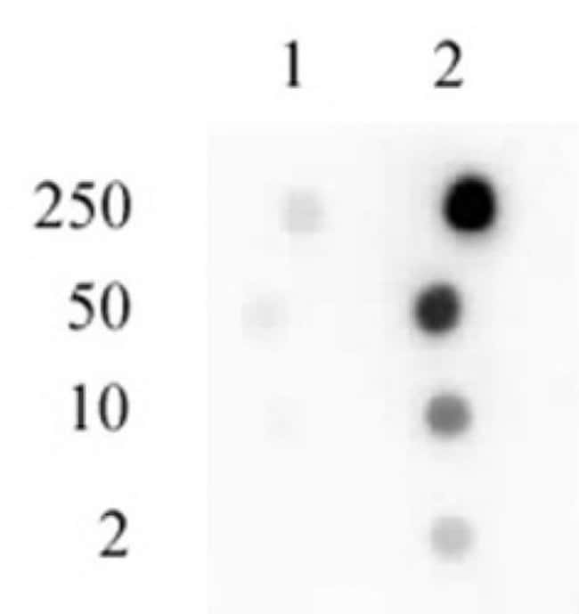 Phospho-Sp1 (Ser101) Rabbit anti-Human, Unconjugated, Polyclonal, Active