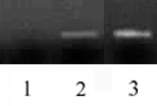 Histone H3 Mouse anti-Human, Clone: MABI 0301, Active Motif:Antibodies:Primary