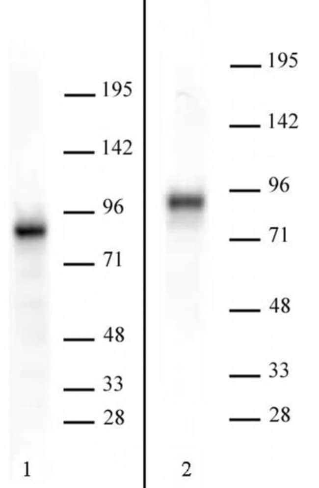 TORC2 Rabbit anti-Human, Mouse, Unconjugated, Polyclonal, Active Motif:Antibodies:Primary