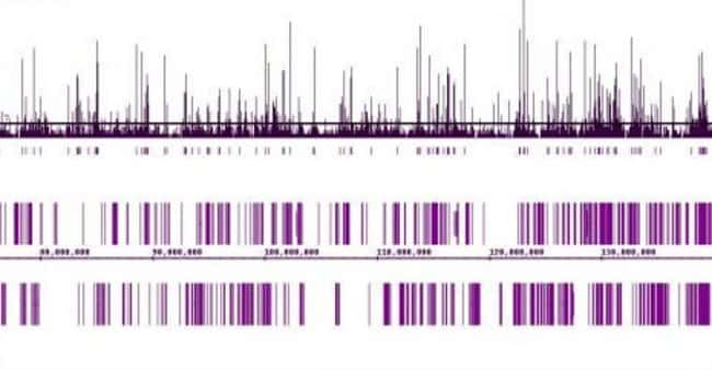 MITF Mouse anti-Human, Clone: C5.D5, Active Motif:Antibodies:Primary Antibodies