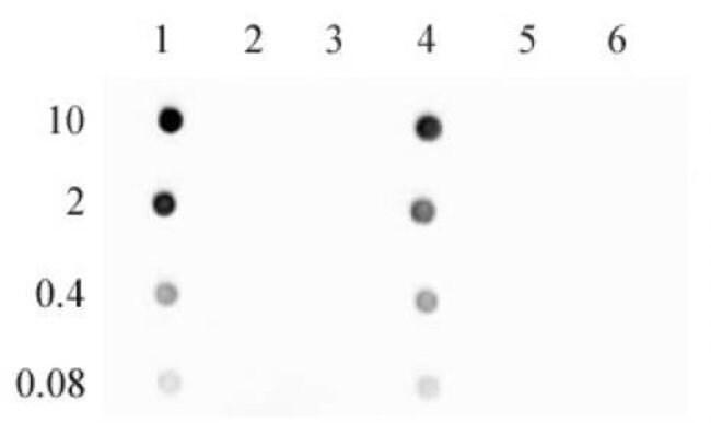 5-Hydroxymethylcytosine (5-hmC) Rabbit anti-Human, Mouse, Unconjugated,