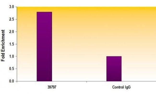 AIB1 / SRC-3 Rabbit anti-Human, Unconjugated, Polyclonal, Active Motif:Antibodies:Primary