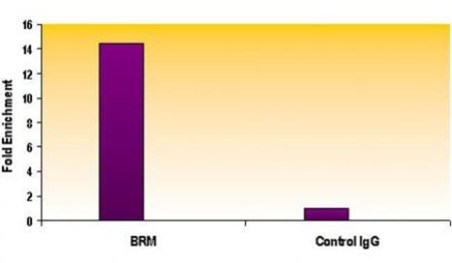SMARCA2 / BRM Rat anti-Human, Mouse, Clone: 1H7A10, Active Motif:Antibodies:Primary
