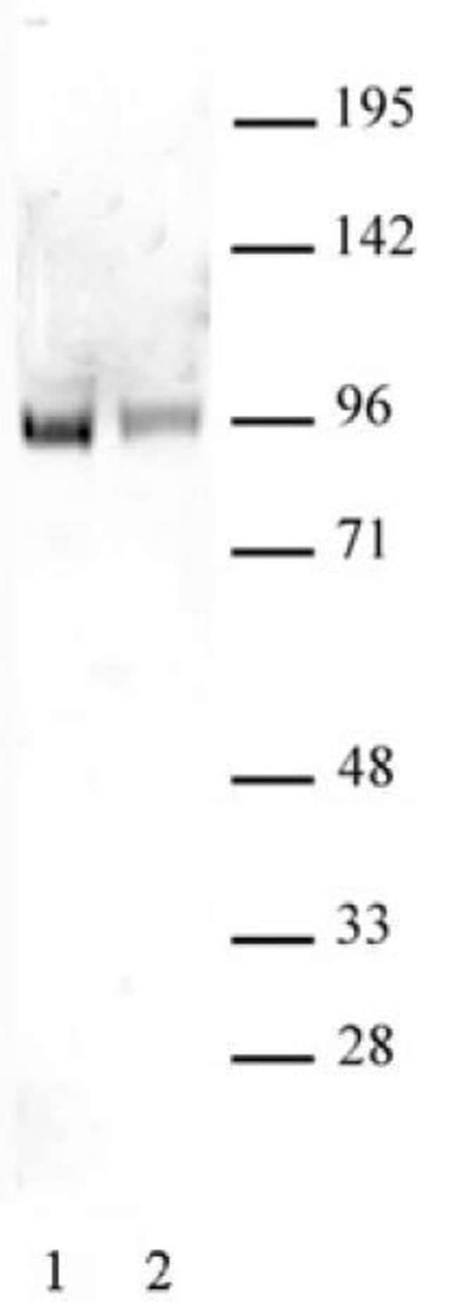 Sp1 Rabbit anti-Human, Unconjugated, Polyclonal, Active Motif:Antibodies:Primary