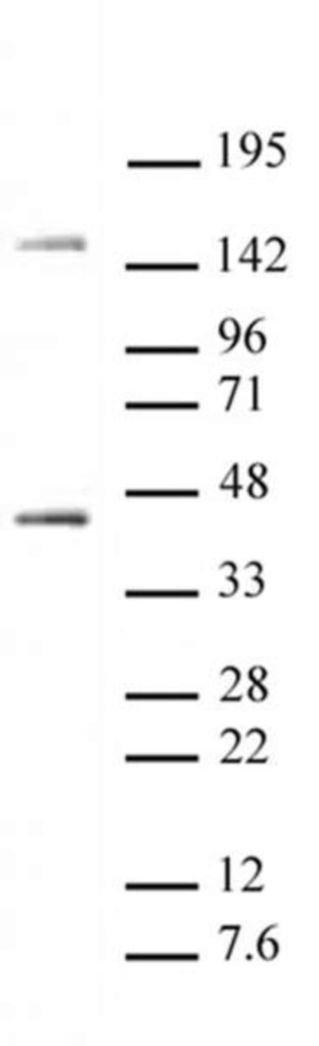 Oct-4 Rabbit anti-Human, Mouse, Unconjugated, Polyclonal, Active Motif:Antibodies:Primary