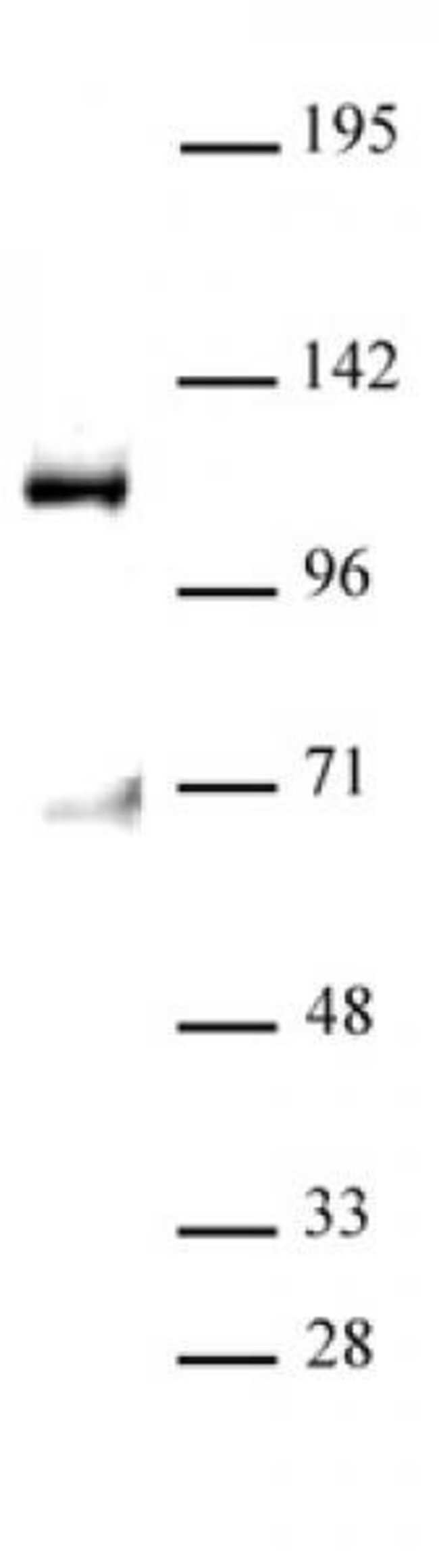 MPP8 Mouse anti-Human, Clone: N119/44, Active Motif:Antibodies:Primary