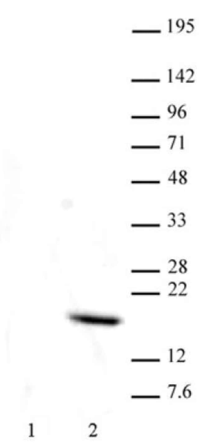 Histone H3T11ph Mouse anti-Human, Clone: N123/48, Active Motif:Antibodies:Primary