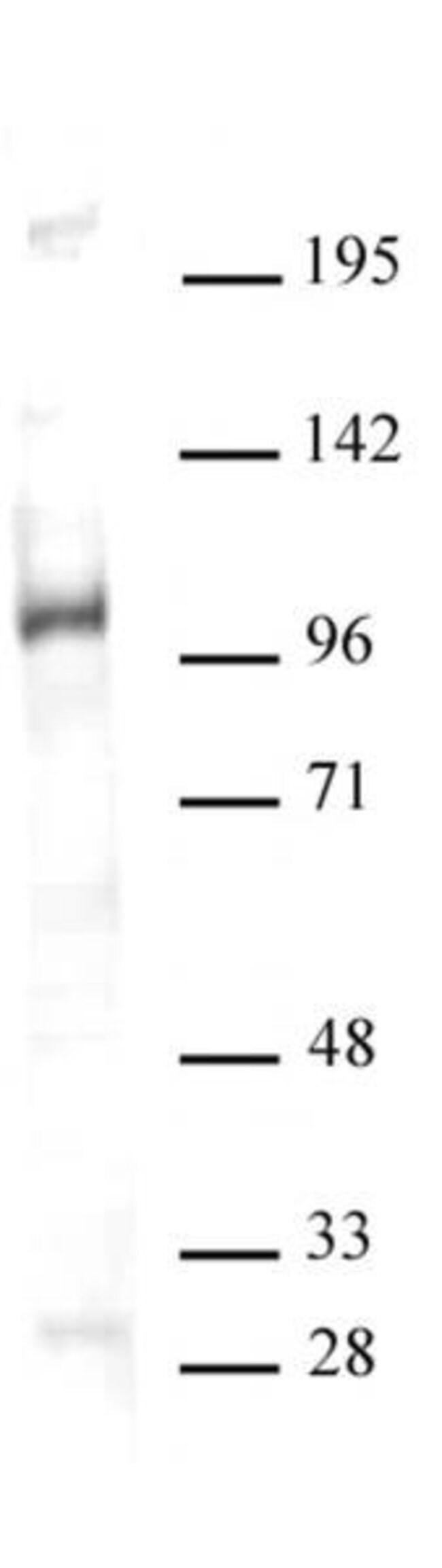 GCN5 Rabbit anti-Human, Unconjugated, Polyclonal, Active Motif:Antibodies:Primary