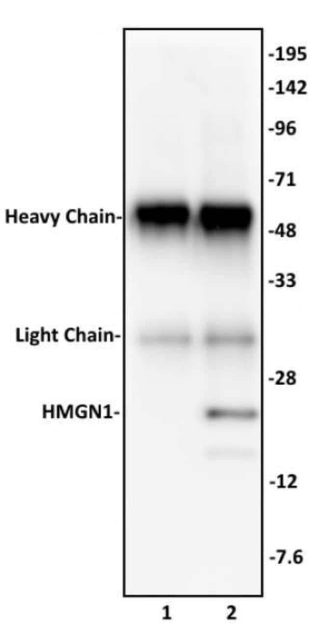 HMGN1 Rabbit anti-Human, Unconjugated, Polyclonal, Active Motif:Antibodies:Primary