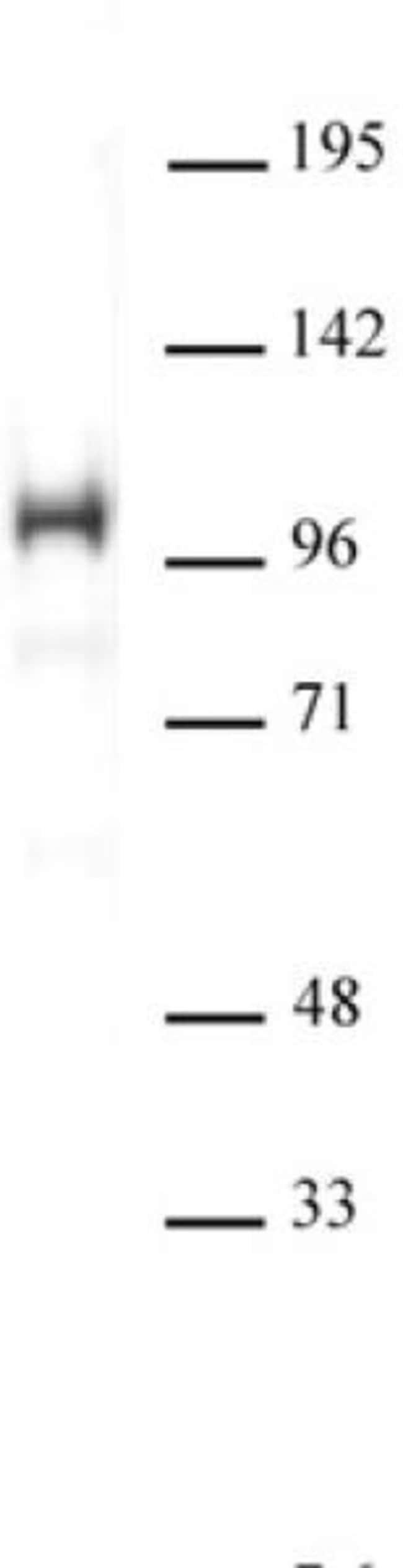 SATB1 Rabbit anti-Human, Mouse, Unconjugated, Polyclonal, Active Motif:Antibodies:Primary