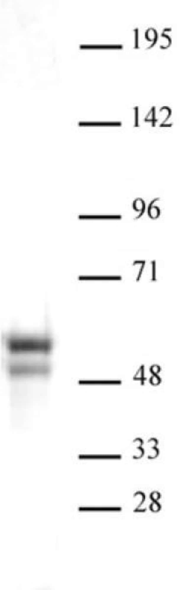NAP1L1 Rabbit anti-Human, Unconjugated, Polyclonal, Active Motif:Antibodies:Primary