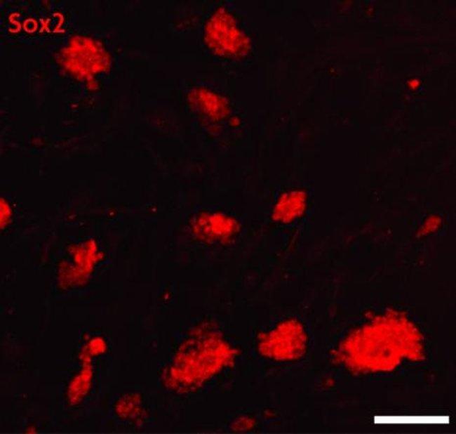 Sox2 Rabbit anti-Human, Mouse, Unconjugated, Polyclonal, Active Motif:Antibodies:Primary