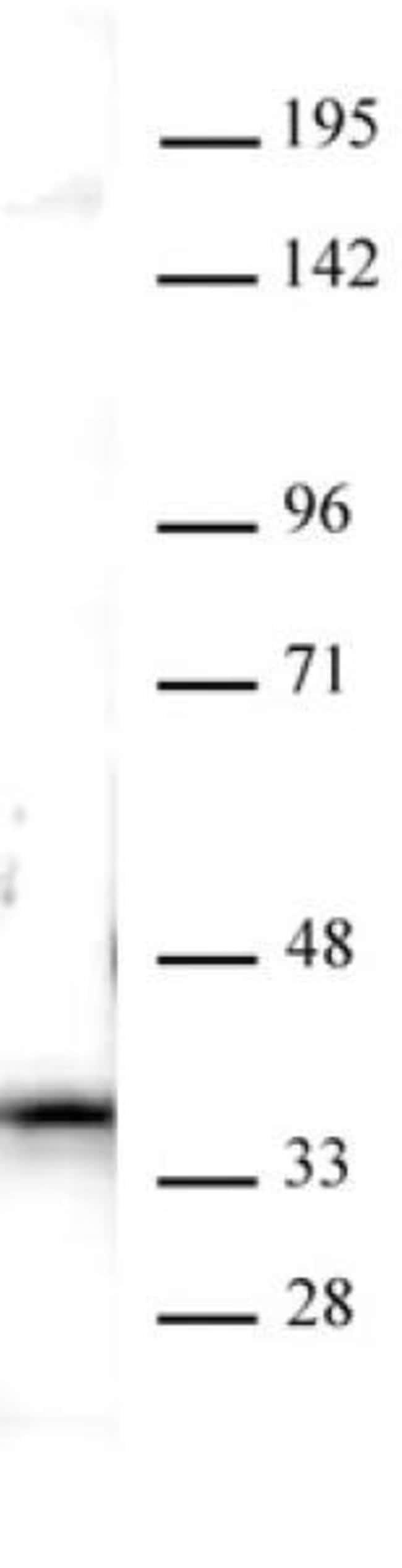 Nucleophosmin Rabbit anti-Human, Unconjugated, Polyclonal, Active Motif:Antibodies:Primary