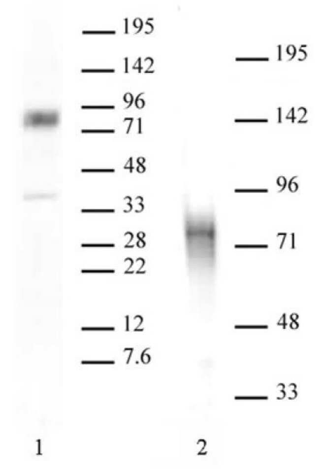 MBD1 Rabbit anti-Human, Unconjugated, Polyclonal, Active Motif:Antibodies:Primary