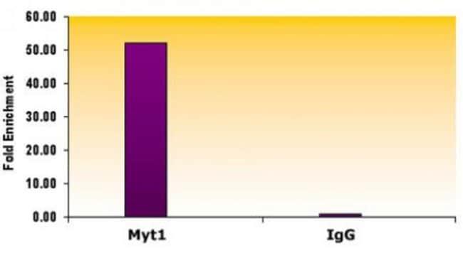 Suz12 Mouse anti-Human, Clone: 2AO9, Active Motif:Antibodies:Primary Antibodies