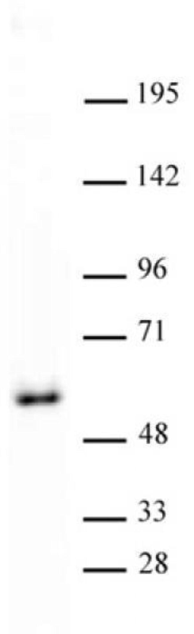 GATA-4 Rabbit anti-Human, Mouse, Unconjugated, Polyclonal, Active Motif:Antibodies:Primary