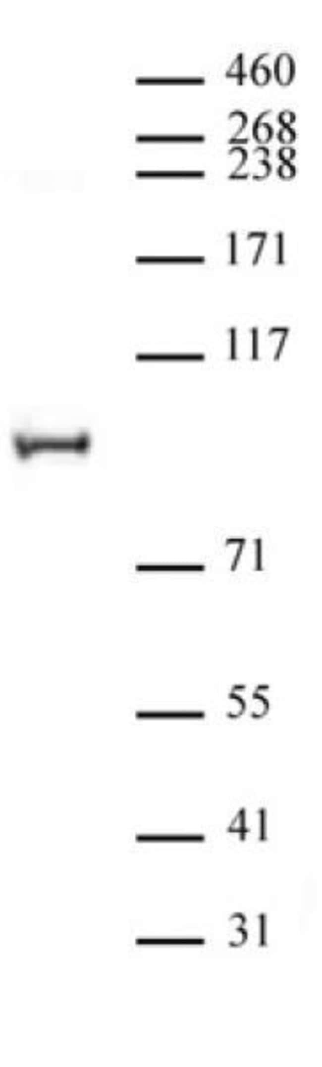 NCoA4 / ELE1 Rabbit anti-Human, Unconjugated, Polyclonal, Active Motif:Antibodies:Primary