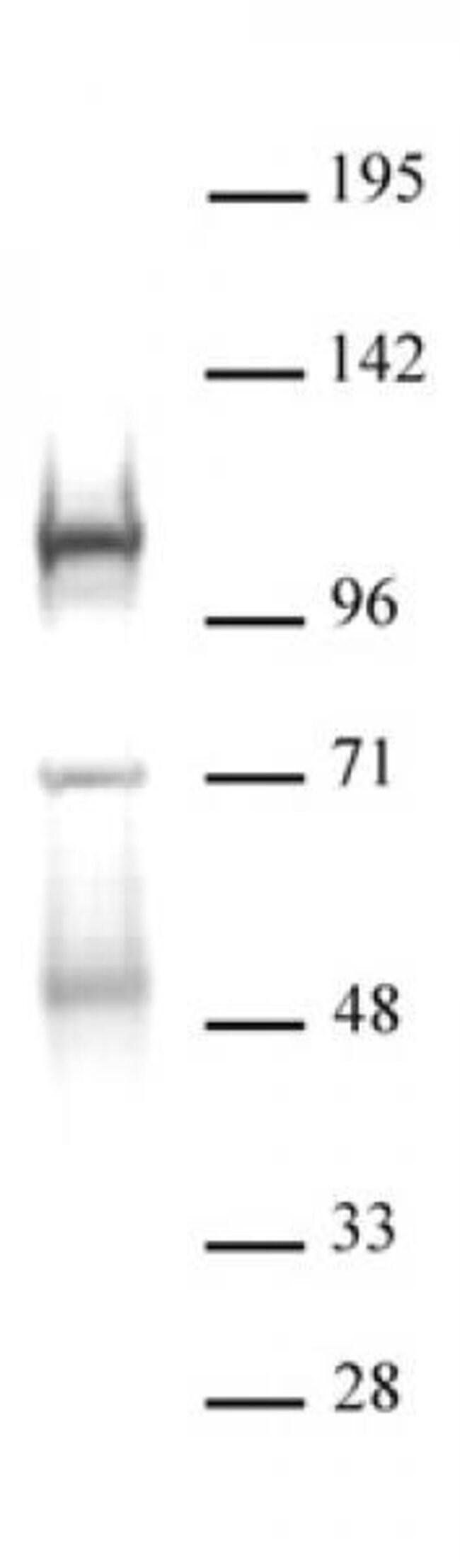 DNMT3B Rabbit anti-Mouse, Unconjugated, Polyclonal, Active Motif:Antibodies:Primary