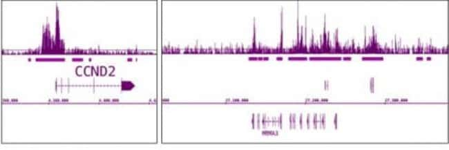 EZH2 Rabbit anti-Human, Mouse, Unconjugated, Polyclonal, Active Motif:Antibodies:Primary