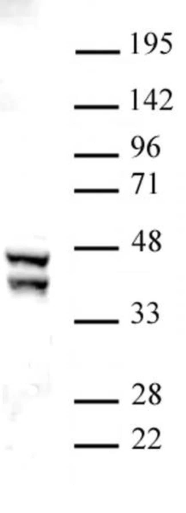 SIRT2 Rabbit anti-Human, Unconjugated, Polyclonal, Active Motif:Antibodies:Primary