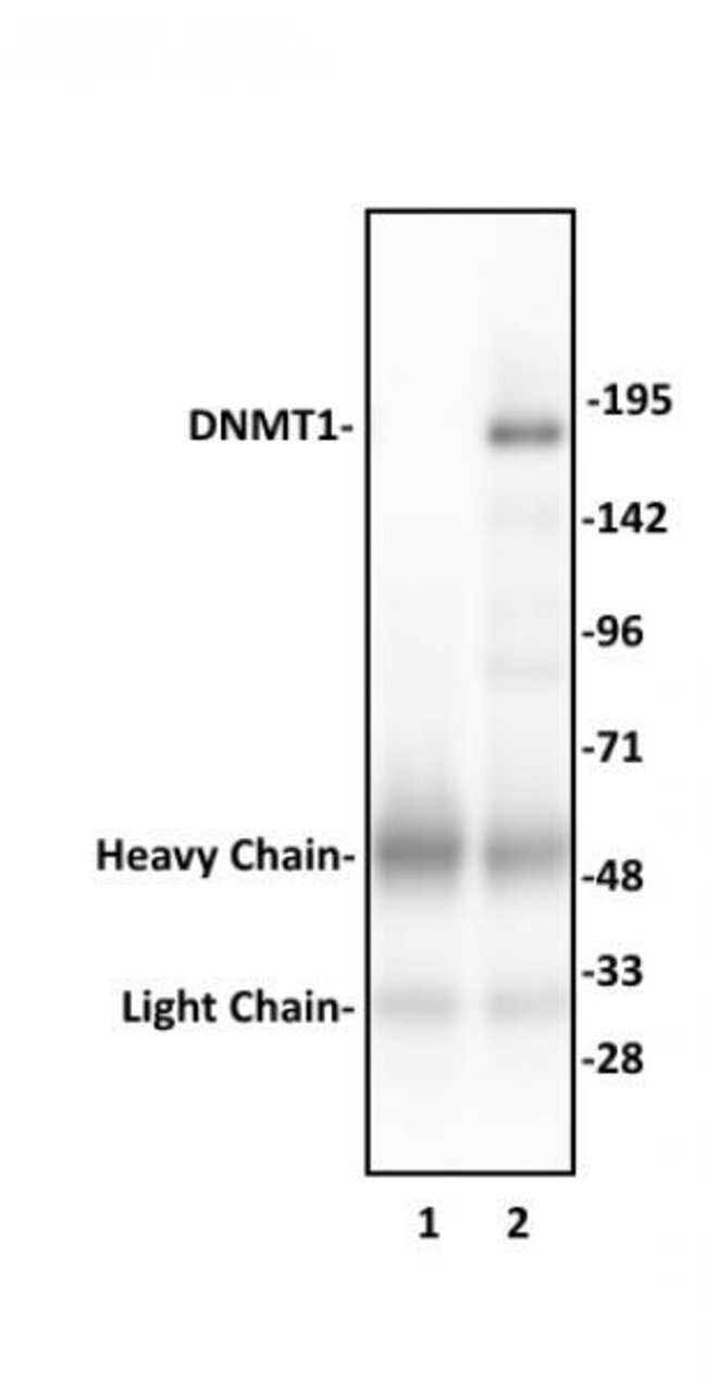 DNMT1 Rabbit anti-Human, Unconjugated, Polyclonal, Active Motif:Antibodies:Primary