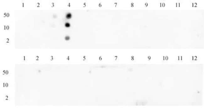 Histone H3K4me3 Rabbit anti-Human, Unconjugated, Polyclonal, Active Motif:Antibodies:Primary