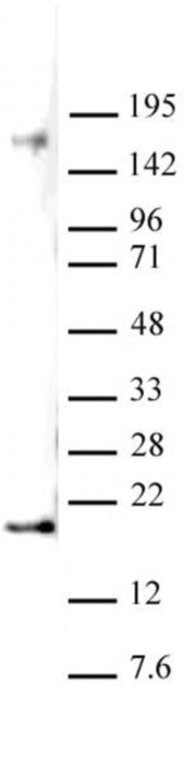 Histone H3K27me2 Rabbit anti-Human, Unconjugated, Polyclonal, Active Motif:Antibodies:Primary