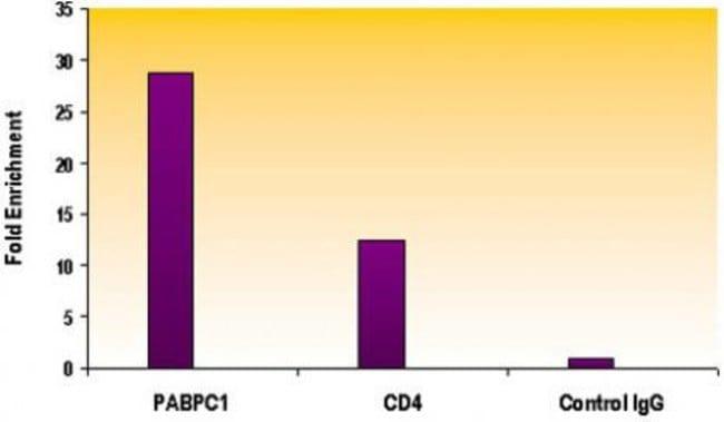 Histone H4K16ac Rabbit anti-Human, Unconjugated, Polyclonal, Active Motif:Antibodies:Primary