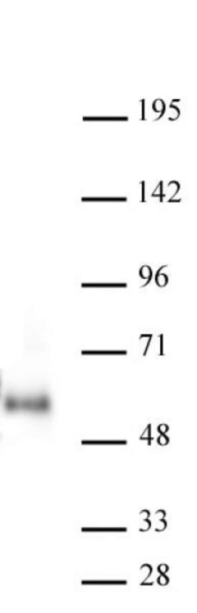 Maz Mouse anti-Human, Clone: 133, Active Motif:Antibodies:Primary Antibodies
