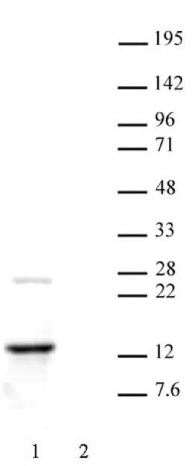 Histone H2A.Z Rabbit anti-Human, Unconjugated, Polyclonal, Active Motif:Antibodies:Primary