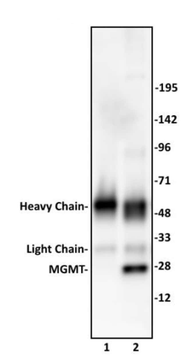 MGMT Rabbit anti-Human, Unconjugated, Polyclonal, Active Motif:Antibodies:Primary
