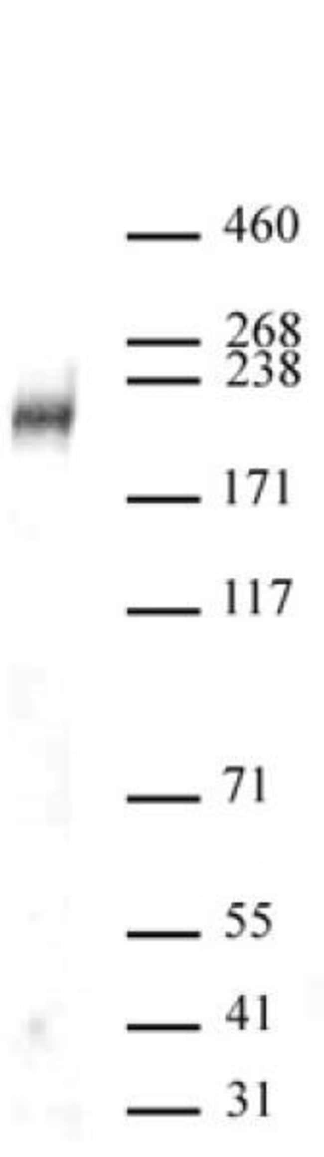DOT1L Rabbit anti-Human, Unconjugated, Polyclonal, Active Motif:Antibodies:Primary