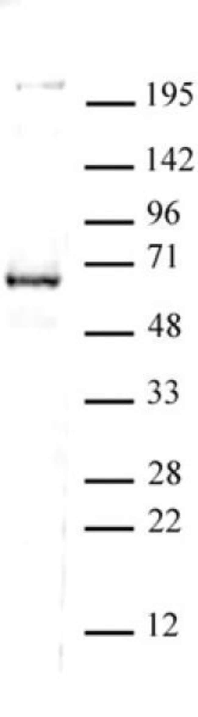 CoREST Rabbit anti-Human, Unconjugated, Polyclonal, Active Motif:Antibodies:Primary